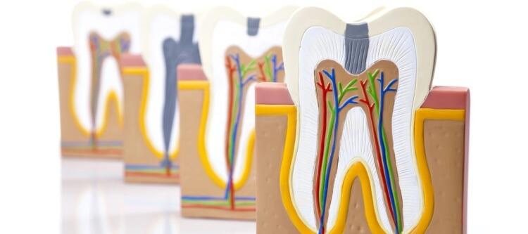 строение зуба человека точная схема