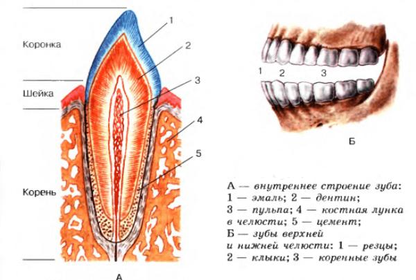 как выглядят зубы