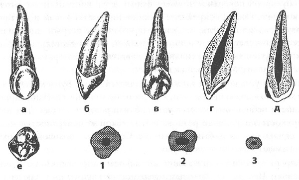рисунок строение зуба человека