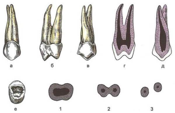 картинка строения зуба человека