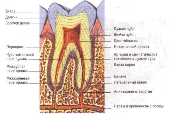 гистологическое строение зубов