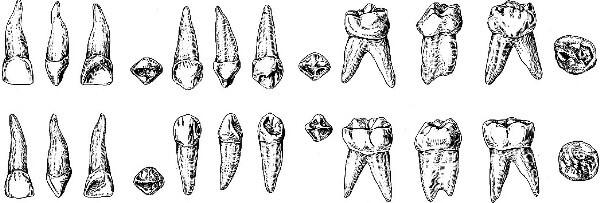 строение молочных зубов ребенка