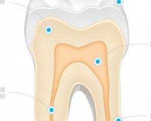 строение зуба человека схема фото
