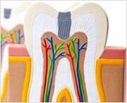 строени зубов верхней челюсти человека