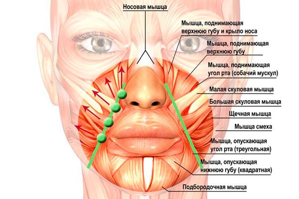 какие мышцы функционируют при жевании