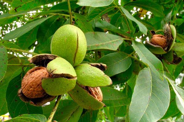 лечебные свойства ядра грецкого ореха